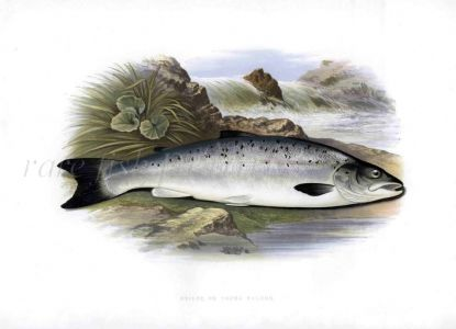 THE GRILSE or YOUNG ATLANTIC SALMON print