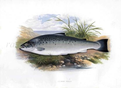 THE SALMON TROUT print