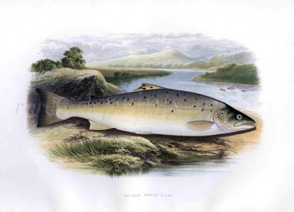 THE GREAT LAKE TROUT print