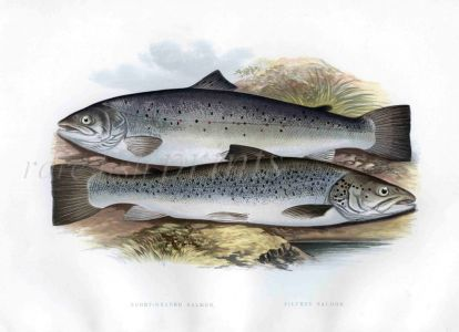 THE SHORT-HEADED & SILVERY SALMON print