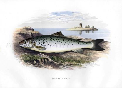 THE LOCH LEVEN TROUT print