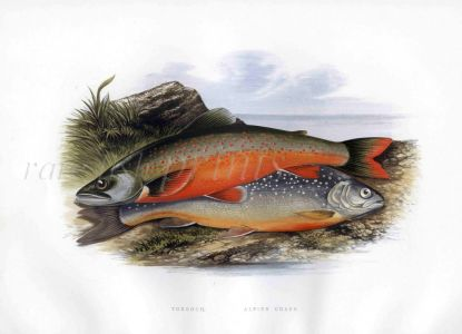 THE TORGOCH or ARCTIC CHAR & ALPINE CHAR print