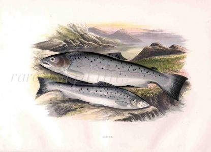THE SEWEN or SEATROUT print