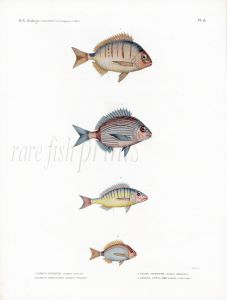 H.N. ZOOLOGIE. POISSONS: Pl. 18 Sargrus/Pagrus - SEA BREAM print 1821 - 1830