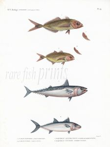 H.N. ZOOLOGIE POISSONS Pl. 24: PELAGIC FISH - Caranx & Scomber - JACKS & MACKEREL print 1821 -1830