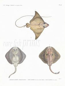 H.N. ZOOLOGIE POISSONS: Pl. 26 Myliobatis & Bandes - BULL & BANDED RAYS print