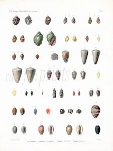 H.N. ZOOLOGIE - COQUILLES PLATE 6: POURPRES, NASSES, CASQUES, CONES, OLIVES, PORCELAINES shell print 1821 - 1830