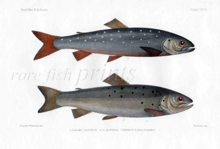 THE ALPINE OR ARTIC CHAR print