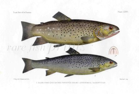 THE HOG BACKED & LOCH LEVEN TROUT print