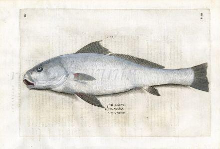 SALVIANI - THE OMBRINA  - EUROPEAN DRUM  fish print  (Umbrina) 1554