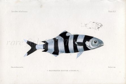 THE PILOT FISH - NAUCRATES DUCTOR & YOUNG fish print