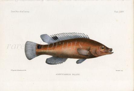 THE SCALE-RAY WRASSE - ACANTHOABRUS PALLONI fish print