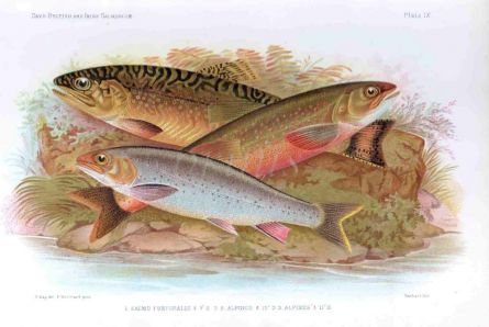 THE BROOK TROUT & ARTIC CHAR print