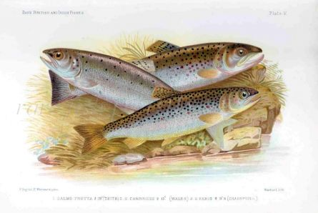 SEA TROUT, SEWIN & BROWN TROUT print