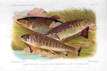 THE FERROX TROUT & BROWN TROUT print