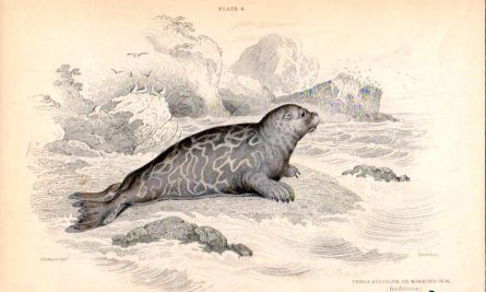 THE PHOCA DISCOLOR or MARBLED SEAL print