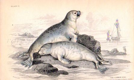 THE COMMON SEAL OF THE FRENCH COASTS ACCORDING TO CUVIER print