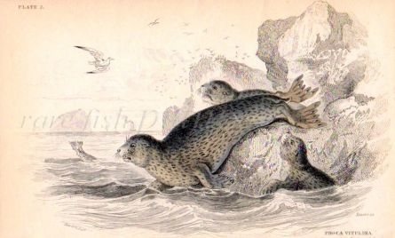 THE COMMON SEAL OF THE SCOTTISH COASTS print