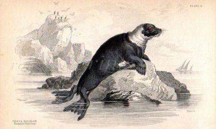 PHOCA BICOLOR or PENNANT'S PIED SEAL print