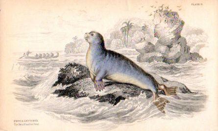 PHOCA LEPTONYX - THE SMALL NAILED SEAL print