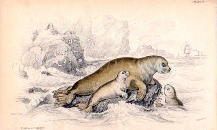 PHOCA LEPORINA  or THE HARE OF THE SEA OF THE RUSSIANS print