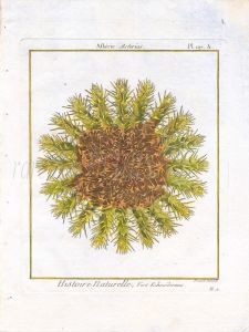 BERNARD - ECHINODERMES ASTERIAS: HEDGEHOG SEA URCHIN engraving