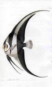 NODDER & SHAW: THE TEIRA BATFISH - Angelfish print