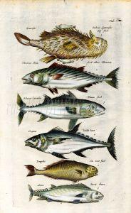 MERIAN & JOHNSTON - TUNA & MACKEREL fish print 1646 - 62