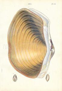 WOOD - CONCHOLOGY: MYA - THE GREAT GAPER shell print 1835