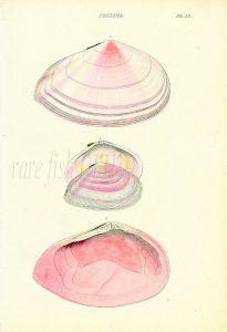 WOOD - CONCHOLOGY: TELLINA - THE FLAT STRIATED TELLEN shell print 1835