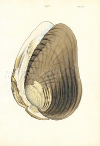 WOOD - CONCHOLOGY: MYA - THE THICK GAPER shell print 1835