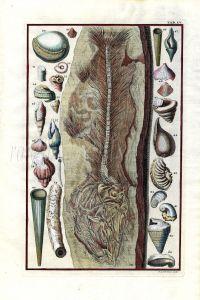 SCHEUCHZER - MARINE LIFE: PHYSICA SACRA FOSSILS TAB LV - FISH & SHELLS print