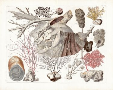 SEBA TAB CVII. MARINE LIFE: CNIDARIANS, ORANGE GORGONIAN, SEA WHIP, FEATHERY BLACK CORAL, CAULEPA print 1735
