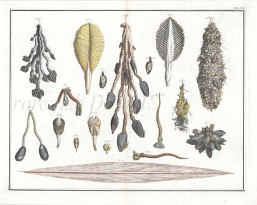 SEBA TAB XVI. MARINE LIFE: COMMON GOOSE BARNACLES, LAMPSHELL, CLAM, SEA PEN shell print  1735