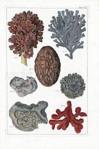SEBA - MARINE LIFE:  MOSS, HORNRACK, SPONGES & CORAL print