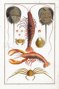 SEBA - MARINE LIFE: HORSESHOE CRABS, PORCELAIN  & SPIDER CRABS, EGGS OF CRAB, SHRIMP &  LOBSTER print.