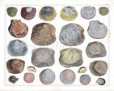 SEBA - CONCHOLOGY - MUSSELS, OYSTERS AND EUROPEAN JINGLE SHELLS print