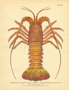 TODD - MARINE LIFE: THE SPINY LOBSTER, OR ROCK LOBSTER print