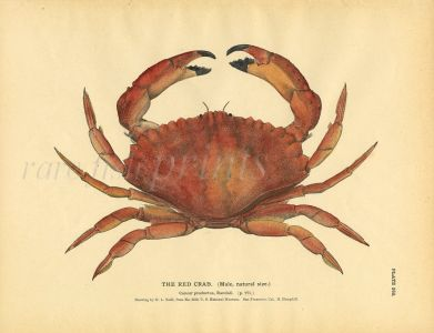 TODD - THE RED CRAB print 1884