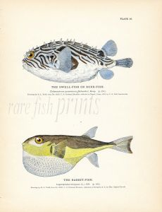 THE SWELL or BURR FISH & RABBIT-FISH print (box & pufferfish)