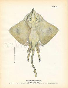 THE BARN-DOOR SKATE fish print ( Raia laevis)