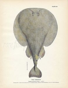 THE TORPEDO RAY fish print