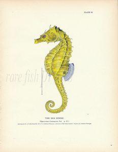 THE SEA HORSE  fish print ( Hippocampus)