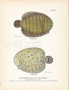THE AMERICAN SOLE or HOG CHOKER fish print