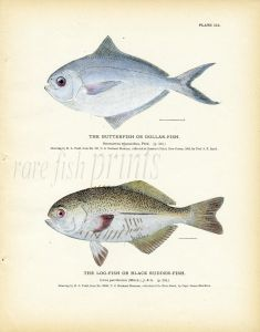 THE BUTTERFISH or DOLLAR- FISH print & THE LOG-FISH or BLACK RUDDER-FISH print