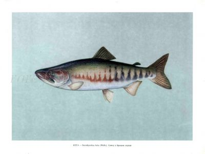 THE CHUM SALMON or DOG SALMON Male print