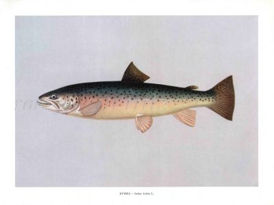 THE SEA TROUT print