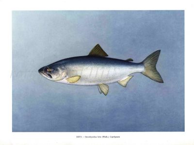 THE CHUM SALMON or DOG SALMON Female print