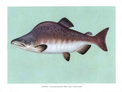 THE PINK SALMON OR HUMPBACK SALMON print