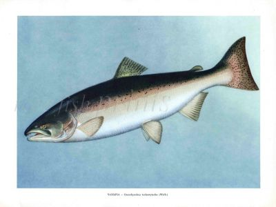 THE CHINOOK SALMON or KING SALMON print